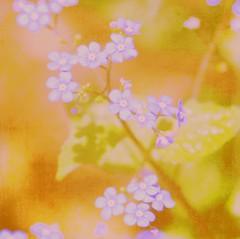 They say it's my birthday... (~Jeannine~) Tags: birthday flowers blue flower texture forgetmenot forgetmenots tatot mamasbloomers fleursetpaysages