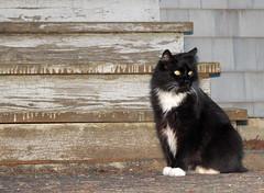 Cat (sandy richard) Tags: usa cats oregon portland unitedstates sandyrichard sandrarichard