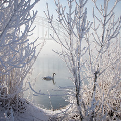Winter Swan (Edwin van Nuil Photography) Tags: bridge snow photowalk zwolle winterwonderland geocity exif:iso_speed=100 exif:focal_length=24mm exif:make=sony camera:make=sony geostate geocountrys exif:aperture=80 nex7 sonynex7 zeisssonnarte24mmf18za camera:model=nex7 exif:model=nex7 exif:lens=e24mmf18za