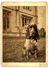 Downton Abbey Dog (Photo Gal 2009) Tags: dog english monochrome abbey sepia vintage bristol oldphoto spaniel cocker englishcocker 2012 olddog downton wetdog muddydog blueroan englishcockerspaniel cockerspanieldog downtonabbey muckydog downtonabbeydog