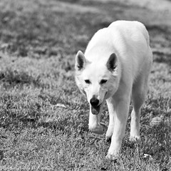 Menacing or Submitting? (raisinsawdust - (aka: withaneyephotography)) Tags: bw dog tongue happy nikon wolf tennessee ears mad 2012 whitedog wolfdog d90 blackwhitephotos nikond90