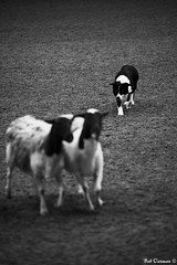 Fort Worth Stock Show and Rodeo-January 2012 (boboatman1) Tags: blackandwhite dog texas sheep fortworth stockshow lightroom sheepdogtrials top20blackandwhite nikond700 niksilverefexpro fortworthstockshowandrodeo
