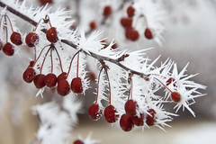 Frosted Berries (Curt Heacox) Tags: winter minnesota frost hoarfrost elementsorganizer