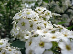 spirea (SS) Tags: light italy white house flower macro green nature beautiful composition contrast canon garden photography countryside spring colorful soft paint dof view angle bokeh pov walk branches details year perspective scenic meadow favorites powershot page april framing fiore bianco depth tone ambience comments lazio atmophere natureselegantshots a480 fleursetpaysages lelitedespaysages