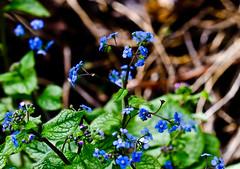Tiny in Blue. (Omygodtom) Tags: park blue flower macro green art nature leaves oregon nikon bokeh small tiny tamron90mm simpleflowers