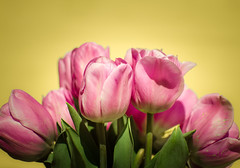 Flowers-15 (Alina Cusnir) Tags: pink red macro 35mm photography spring nikon colorful tulips bouquet f18 d7000