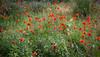 0328_2869w12 (_I_AM_) Tags: flowers mountain grancanaria poppies vallmo inthemountain