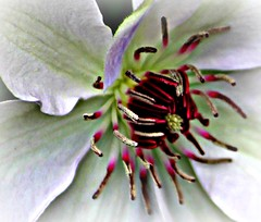 Lovely Spring Blooms! (Marcie Braden) Tags: flowers clematis awesomeblossoms