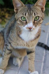 """""""Serious Face"""" (2/2) (Fanniekartika) Tags: morning cats cute nature animals canon happy eos serious cheerful playful 1100d"""
