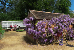 9-Kingston Lacy, kitchen garden Wisteria - 5778 (Ramarsh45) Tags: building architecture outdoor structure greenhouse infrastructure glasshouse wisteria pottingshed kingstonlacy plantpots kitchengardrn