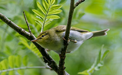JWL8592  Wood Warbler ....... (jefflack Wildlife&Nature) Tags: nature countryside woodlands wildlife forests warbler songbirds wildbirds warblers woodwarbler