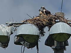 Osprey nest 20160527 (Kenneth Cole Schneider) Tags: florida miramar westbrowardwca