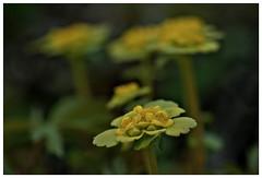 maigull (chrysosplenium alternifolium) (KvikneFoto) Tags: flower norge spring natur blomst vr hedmark kvikne