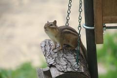 345/365/2901 (May 21, 2016) - Chipmunks at the Birdfeeder (Saline, Michigan) (cseeman) Tags: animals eating michigan seed saline chipmunks birdfeeders project365 yeareightproject365coreys 2016project365coreys 356project2016 p365cs052016