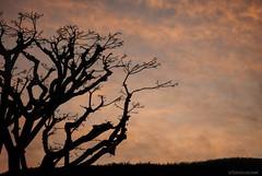 Daybreak.... (Joe Hengel) Tags: california ca morning trees tree leaves clouds sunrise outdoor socal southerncalifornia orangecounty oc goodmorning theoc sanjuancapistrano treebranch cloudsorangecounty
