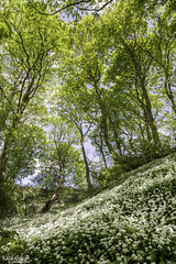Wild Garlic (wiganworryer) Tags: park flowers trees wild england west nature canon river lens photography is photo spring woods angle image zoom country north wide picture bank keith full valley frame garlic l flowering series 16 yarrow riverbank 35 gibson f4 hdr 6d 2016 wiganworryer