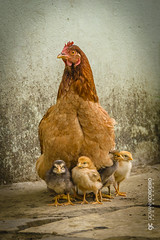 A mother's protection (G. Cordeiro) Tags: family portrait chicken nikon domestic gallus avian d610