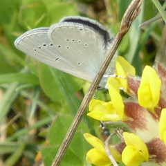 Small Blue - Cupido minimus 4c (Dluogs) Tags: blue macro nature animal butterfly insect geotagged outdoors hampshire spot pale lepidoptera crop underside winchester britishwildlife lycaenidae smallblue cupidominimus chalkdownland butterflyreserve geo:country=england taxonomy:binomial=cupidominimus magdalenehilldown geo:lat=510581 dluogs geo:county=hampshire geo:region=europe taxonomy:common=smallblue geo:osgridref=su509290 geo:lon=12746 geo:acc=50m