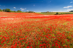 Poppies @Valensole (Benjamin MOUROT) Tags: flowers light red sky france nature fleurs french landscape spring view pov poppies paysage alpesdehauteprovence southfrance coquelicots lavandes valensole photoshopcs3 1018mm canon70d benjaminmourot lightroom5