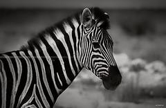 Zebre-web-HD (Seb97470) Tags: zebra afrique namibie