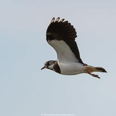 Kievit (Northern Lapwing)-3 (robvanderwaal) Tags: bird nature netherlands birds inflight nederland vogels natuur vanellusvanellus kievit northernlapwing vogel bif 2016 invlucht tiengemeten28082011 rvdwaal robvanderwaalphotographycom