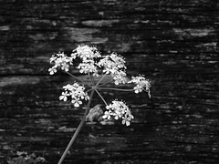 Cow Parsley and Old Wood (cycle.nut66) Tags: wood flowers blackandwhite flower monochrome lens four cow petals stem grain olympus tiny weathered grayscale delicate standard parsley zuiko thirds evolt e510 1442