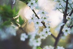 blossom (marievolkova) Tags: flowers light sunset shadow portrait people sun white flower tree art love nature beautiful beauty field leaves photoshop portraits wonderful cherry 50mm golden spring amazing nikon natural blossom bokeh gorgeous blossoms may hour flare getty blossoming nikkor depth sunflare 500px d3100