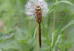 IMG_1435n (wim_z) Tags: macro nature animals closeup dragonfly insects odonata 70d canonef100mmf28lisusm