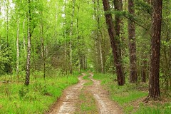 spring in the forest (JoannaRB2009) Tags: spring green trees path road nature dzkie lodzkie polska poland landscape view woods forest