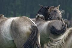 Mustangs and Wild Horses - 2016-0040_Web (berni.radke) Tags: horse pony mustang pferd nordrheinwestfalen colt wildhorse foal fohlen croy herde dlmen feralhorses wildpferdebahn merfelderbruch merfeld przewalskipferd wildpferd dlmenerwildpferd equusferus wildpferdefang dlmenerpferd dlmenpony herzogvoncroy wildhorsetrack