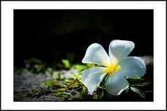 close-up #13 [Explored] (e.nhan) Tags: life light white black flower green art nature yellow closeup leaf colours shadows dof bokeh frangipani backlighting enhan