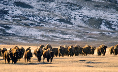 20111126 Grasslands Bison (Robert Harwood) Tags: buffalo bison grasslands grasslandsnationalpark saslatchewan