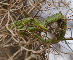 Boomslang or Tree Snake - Dispholidus typus (jaffles) Tags: africa nature southafrica snake wildlife olympus safari krugernationalpark e5 knp sanparks treesnake 2011 boomslang