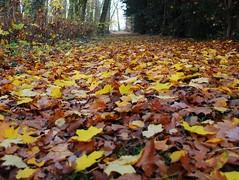 leaf after leaf ... ( explored ) (mujepa) Tags: wood autumn fall colors leaves automne carpet leaf seasons path tapis sentier chemin fort bois feuilles saisons mygearandme mygearandmepremium bbng rememberthatmomentlevel1 rememberthatmomentlevel2