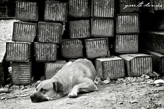 Let Sleeping Dogs Lie (daviesg) Tags: wild blackandwhite bw dog animal mexico mexicocity track sleep homeless railway traveller stray shelter mexicodf distritofederal meloncholy sanjuandediego