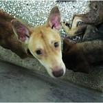 『壽山收容所』非展示區1203,黃金獵犬、哈士奇、米格魯、梗、米克斯、無毛瑪爾、比利時狼犬、秋田、現場為準,20111205 thumbnail