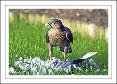 Sparrowhawk (Fazer44) Tags: wild green canon wildlife raptor hunter prey sparrowhawk eos7d