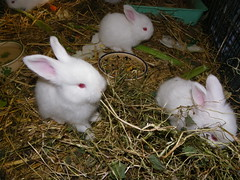 eating clover hay (ixchelbunny) Tags: pets cute rabbit bunny bunnies english fun fluffy spinning rabbits angora ixchel ixchelbunny