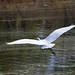 Great Egret Lifts Off