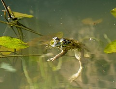 Frog Floating (suerob) Tags: africa travel wild vacation holiday nature water leaf eyes lily wildlife floating amphibian frog gambia