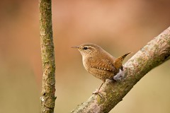Wren (DJLDorset (Takin' a break for a while)) Tags: nature birds wildlife dorset wren tph canoneos550 davidlongshaw