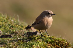 Female Desert Wheatear, Titterstone Clee Hill, Shropshire (Andy_Hartley) Tags: mygearandme