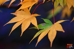 Pair (fravenang) Tags: autumn fall japan temple kyoto arashiyama