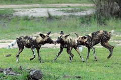 African Wild Dog, Mala Mala (Terathopius) Tags: southafrica kruger africanwilddog lycaonpictus africanpainteddog malamala capehuntingdog