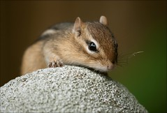 Not Quite Sure (SavingMemories) Tags: cute eye statue mouse rodent furry squirrel sweet critter chipmunk whisker chippy notquitesure savingmemories suemoffett