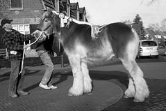 DSC_1360 (Ton van der Weerden) Tags: horses horse dutch de cheval belgian zwart wit nederlands belges draft chevaux noordbrabant belgisch trait 2011 gerwen trekpaard veulenkeuring