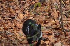 DSC_0260 (rlg) Tags: bear dog male animal mammal video december bears frenchbulldog 23 friday mov 1223 2011 fpr 15dec05 201112 12232011 nikond5100 20111223