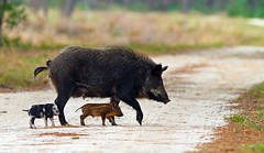 Feral Pig and Piglets (minds-eye) Tags: pig florida wildlife hunting pork swamps hog boar piglets guana feralpigs gtmnerr