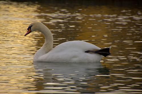 Лебедь в золоте