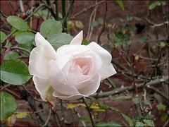 Dezember-Rose (ds-foto :: bembelkandidat) Tags: winter rose weihnachten frankfurt dezember fra mainhatten bk bembelkandidat ffm mainhattan bembel dsfoto weihnachtsrose dezemberrose